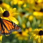 MonarchOnRudbeckia