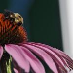 BeeonEchinacea