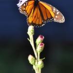 Monarch_Butterfly_On_Liatris_Minnesota