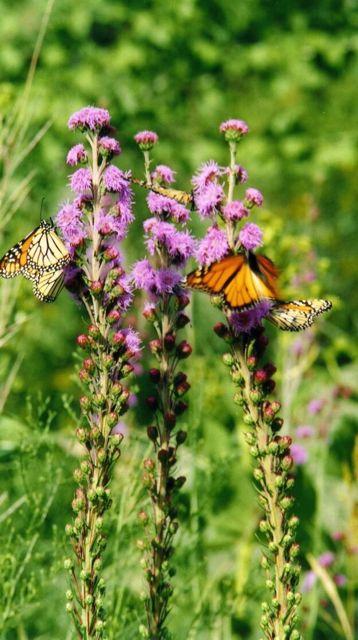 gardening_for_butterflies.jpg