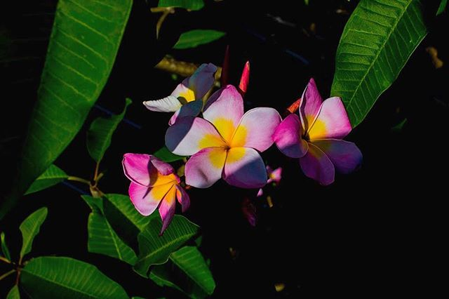 """Bloom from the """"Seed Mama"""" plumeria tree."""