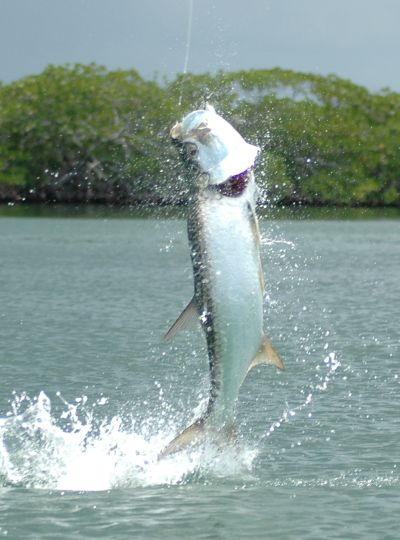Fishing for tarpon on Turneffe Atoll.
