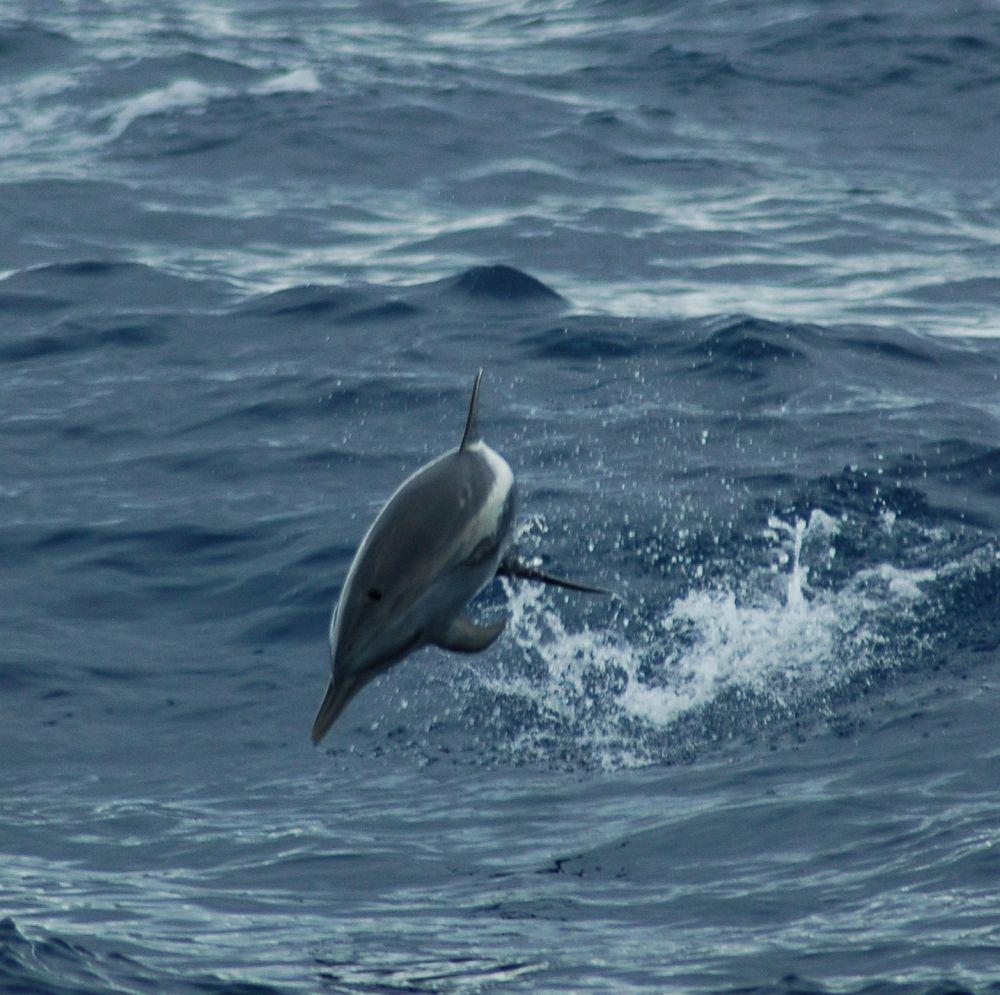 Bottlenose dolphins on Turneffe Atoll