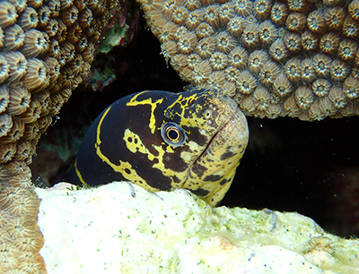 spotted moray eel seem while snorkeling in Belize