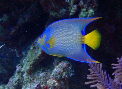 Snorkeling with queen angel fish in Belize