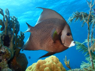 French angel fish seen while snorkeling