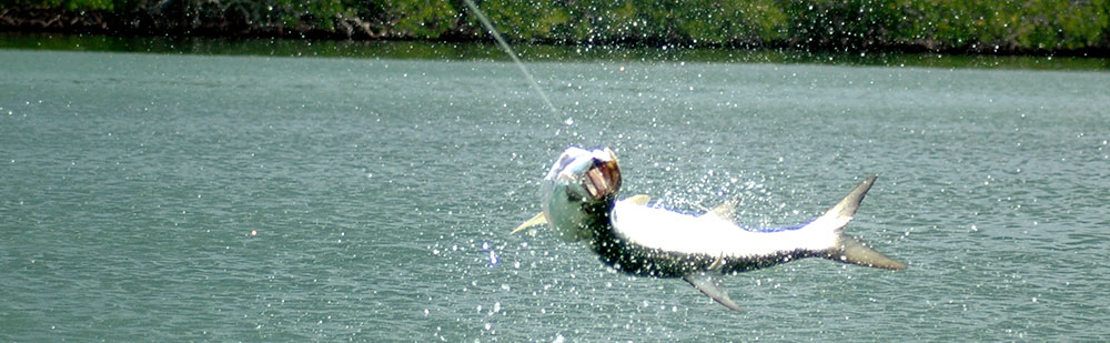 Tarpon fishing in Belize.  This giant tarpon was caught and released on Turneffe Atoll