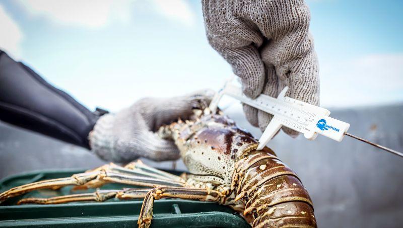 legal spiny lobster in Belize