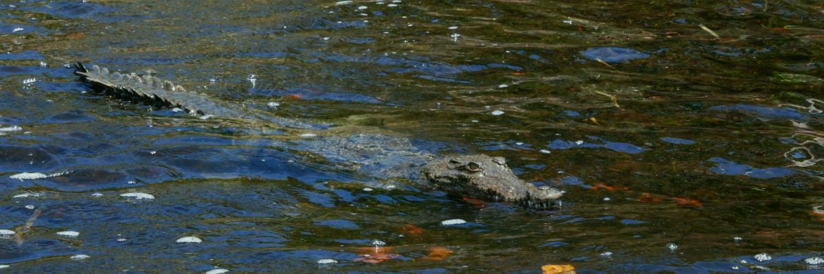 American Crocodiles nest at Turneffe Atoll.  Crocodile viewing is part of the Atoll Adventure Eco-tour package