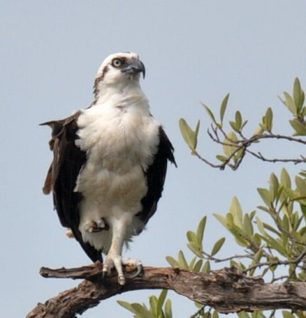 Osprey scouting at Turneffe Flats