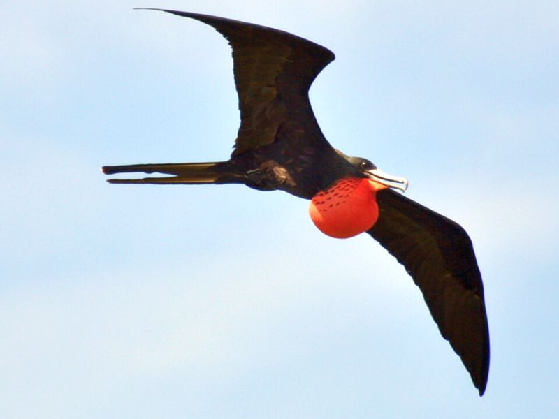 Frigate bird soaring at Turneffe Atoll Belize
