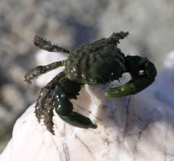 olive crabs are imitated while fishing for permit in Belize