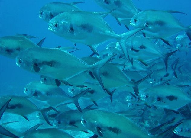Fly Fishing for permit in Belize is best because of the big schools of permit.