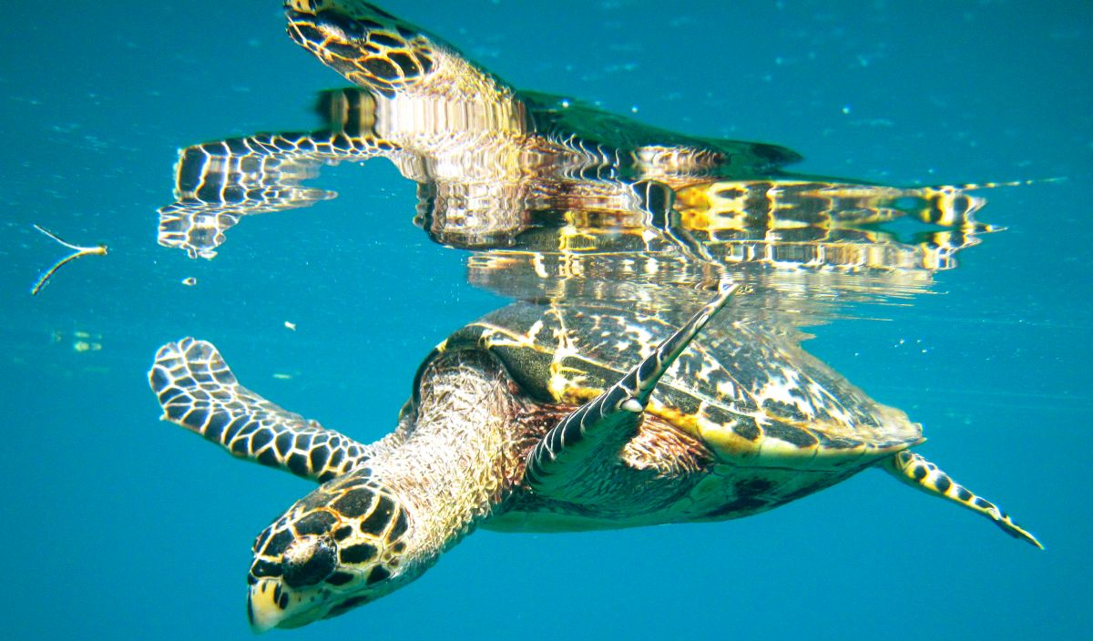 Turneffe Flats - Snorkeling with sea turtles in Belize