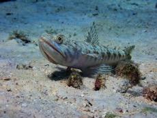 Lizardfish.jpg