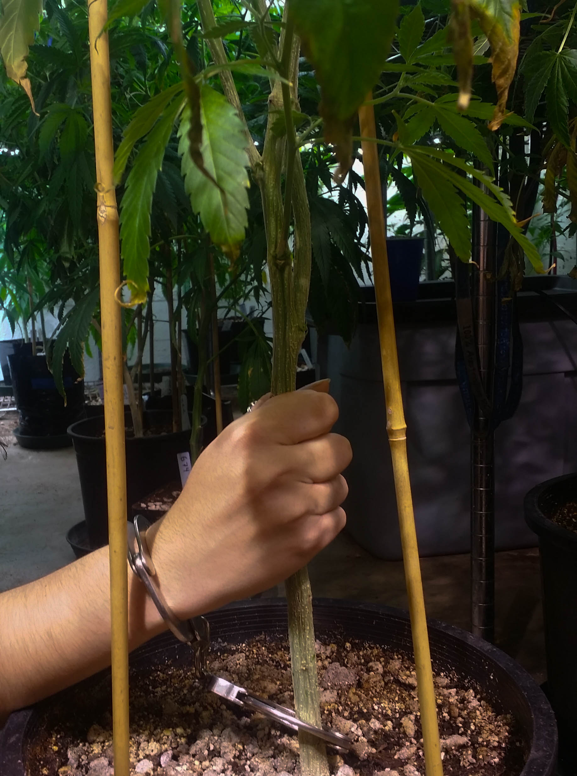 Hands cuffed to cannabis plant in protest