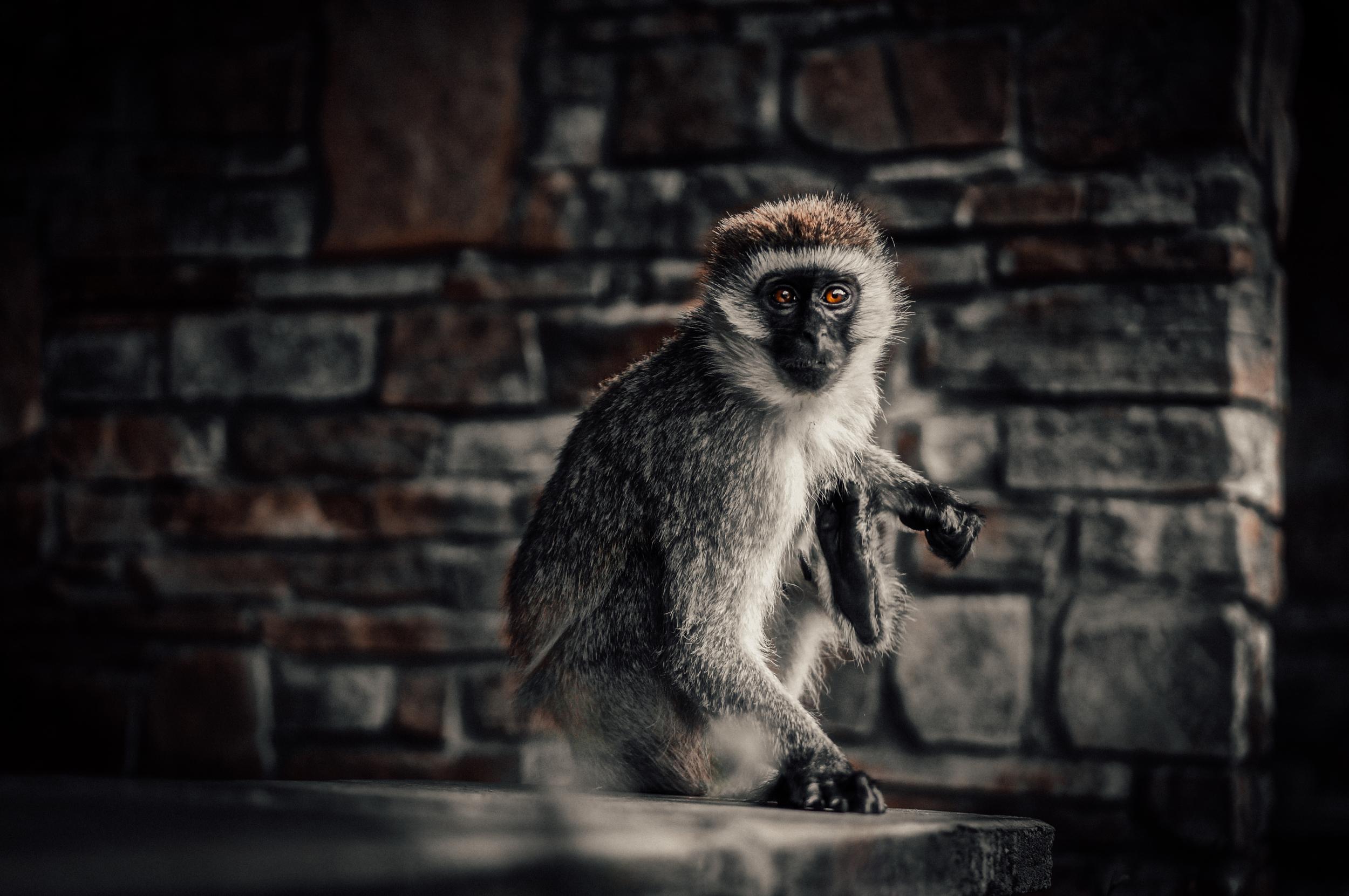 Monkey Kenya.jpg