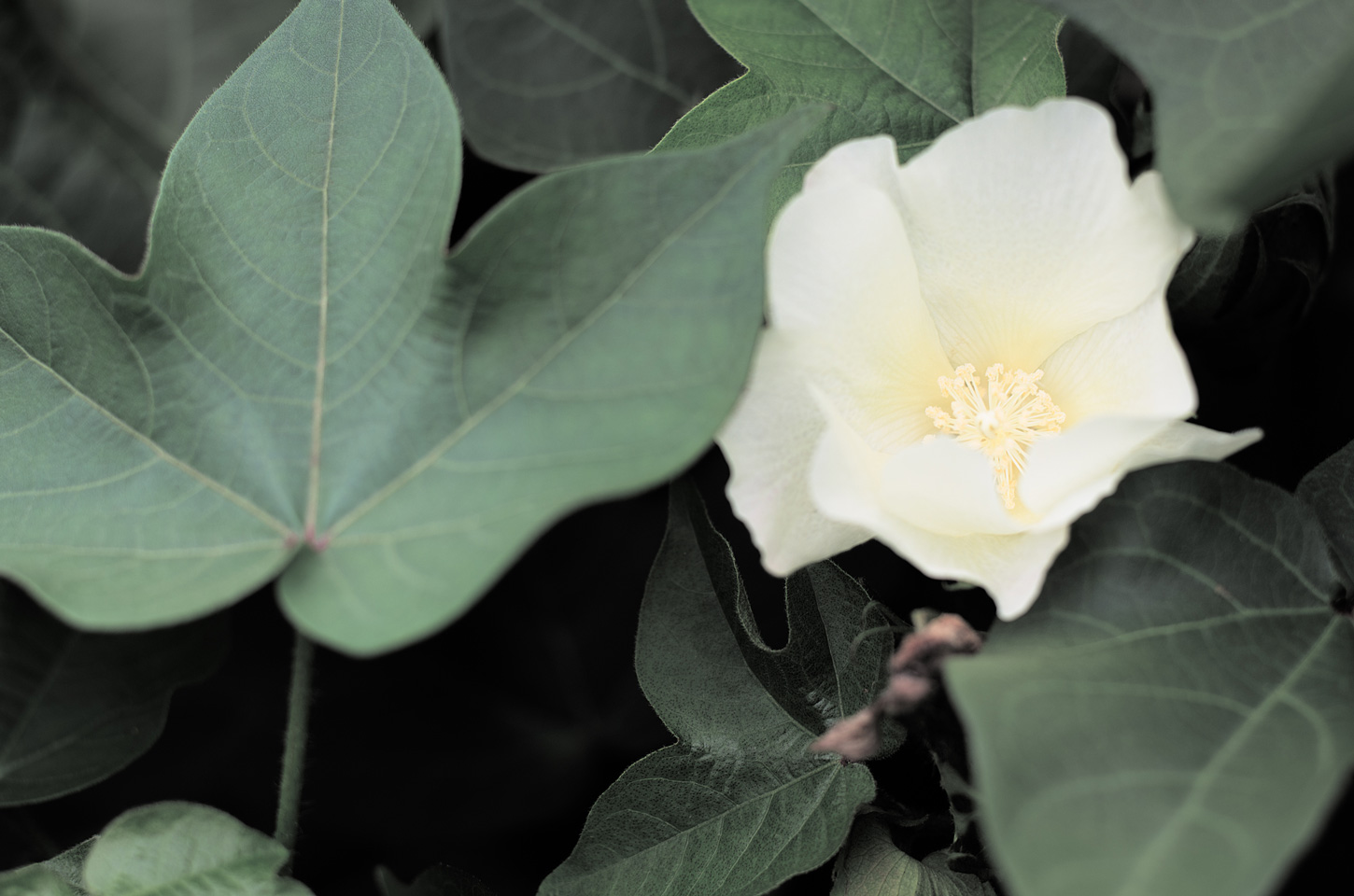 Cotton in Bloom