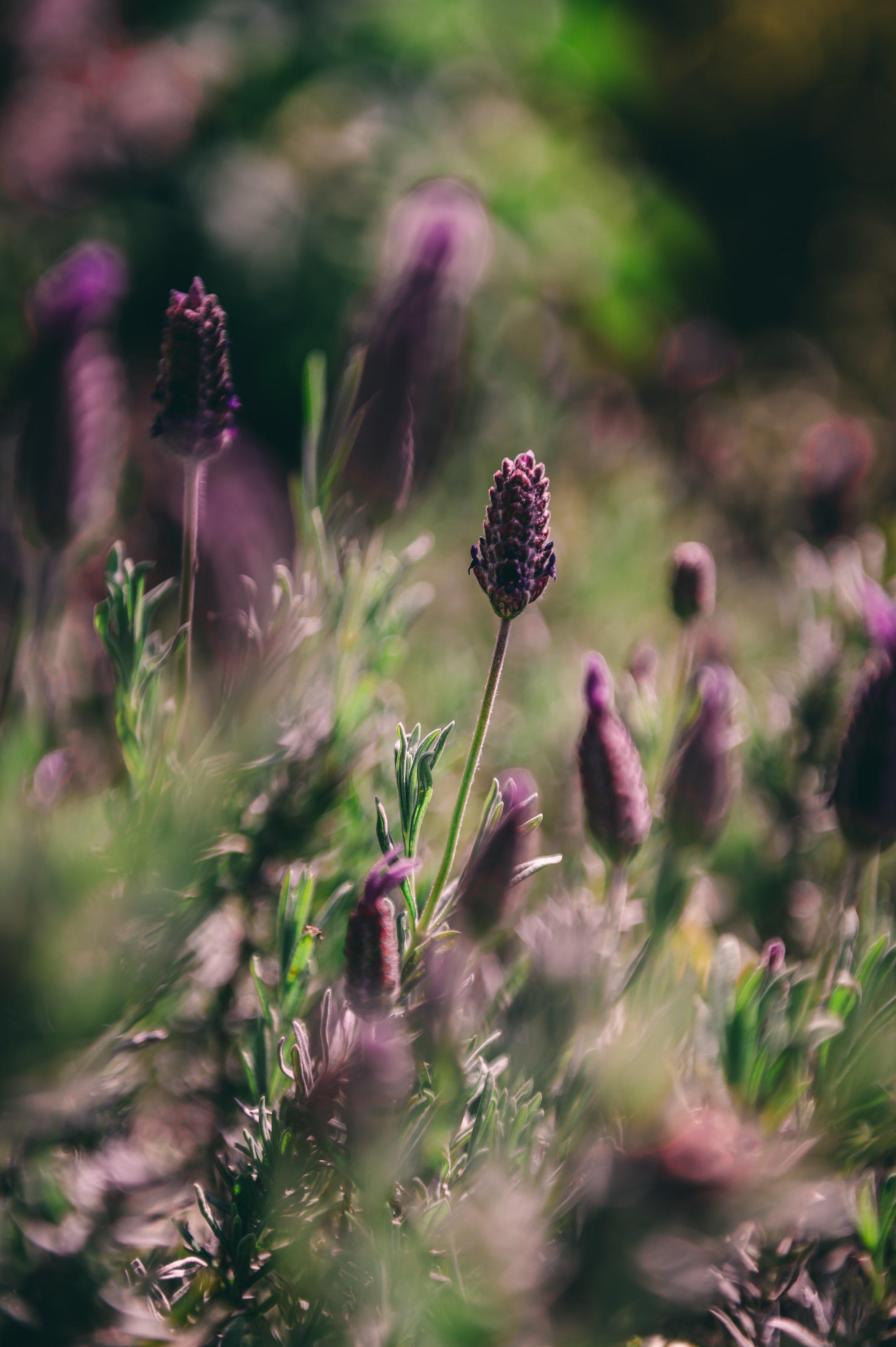 Stacy Wooster Apothecary spanish lavender flower herb _ pic from-elliot-banks-CFi8OllldJc-unsplash.jpg