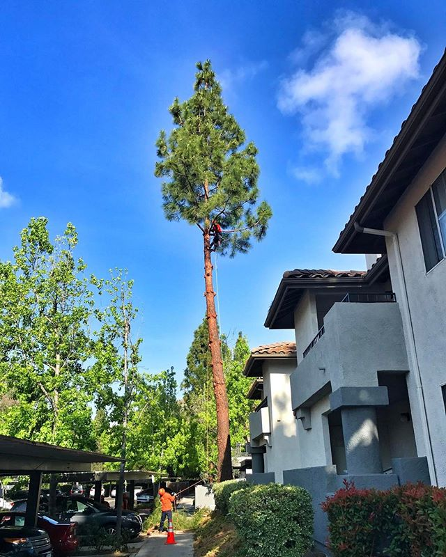 #fslps #treeremoval #treecare #landscape no more pine needles
