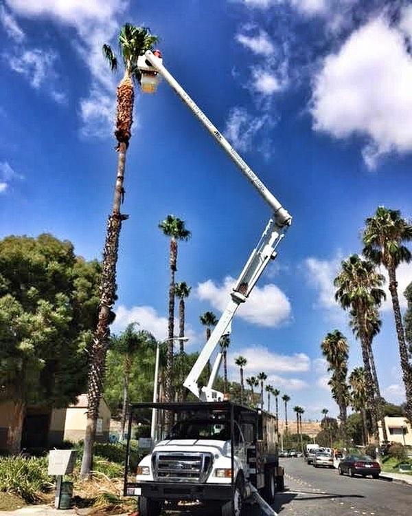 #palm #treepruning in @cityofsantaclarita #fslps #treecare #landscape #santaclarita