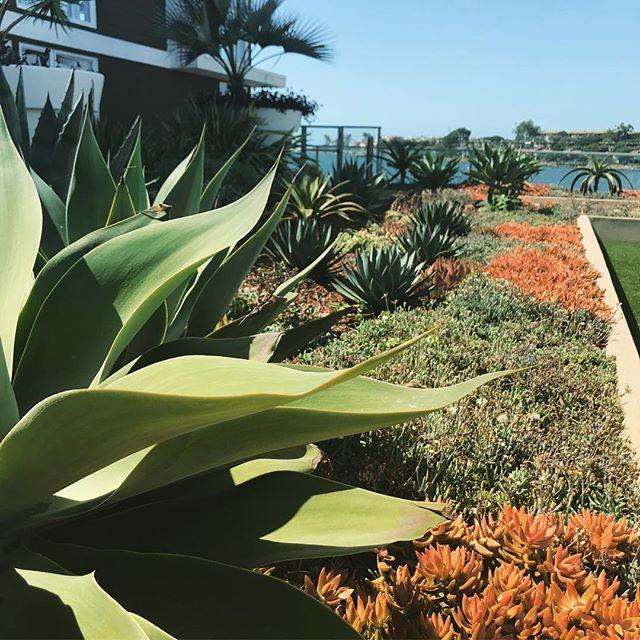 #droughttolerant #succulents #landscapedesign #fslps #mdr #marinadelrey
