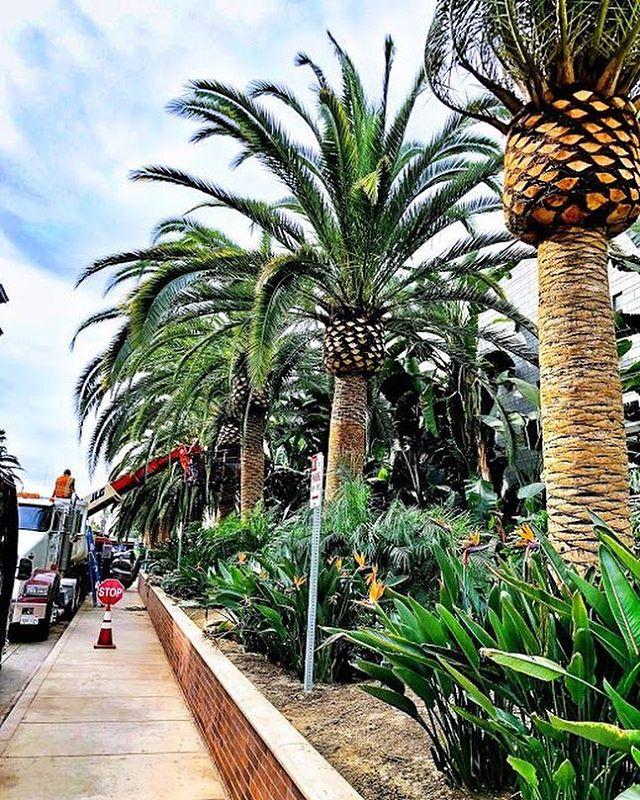 #downtownla #palmtree spruce up ||| sand and shape ||| #palmtrees  #brandnew #landscapedesign #dtla #fslps #treecare #landscapers_of_instagram #losangeles
