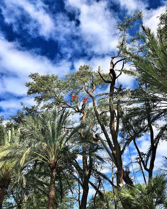 Tree Crew in Action - using our new @stihl chainsaws in #warnercenter #treecare #fslps #landscape #stihl #landscapersofinstagram #tree #treetrimming #losangeles #treework #arborist #arborculture #treeclimbers #chainsaw #woodlandhills