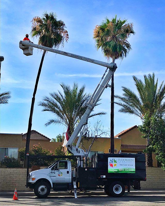 Palm pruning season - One🌴 at a time! #fslps #treecare #palmtrees #treetrimming #treeservice #treepruning #landscape #tree #losangeles #arborculture #treeclimbing #treestagram #arborist @stihl @cityofsantaclarita