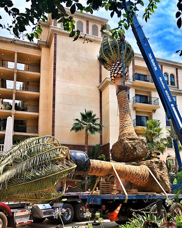 Beautiful new palm install in #downtownla 🌴🌴🌴 #dtla #landscapedesign #landscape #losangeles #fslps #thelorenzo #la #landscapersofinstagram #clca @happeningindtla @cityoflosangeles