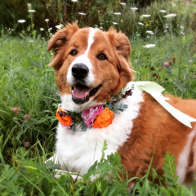 Bella, one of our rescue animals, is modeling one of our custom floral doggy collars while enjoying a summer day in the flower garden.
