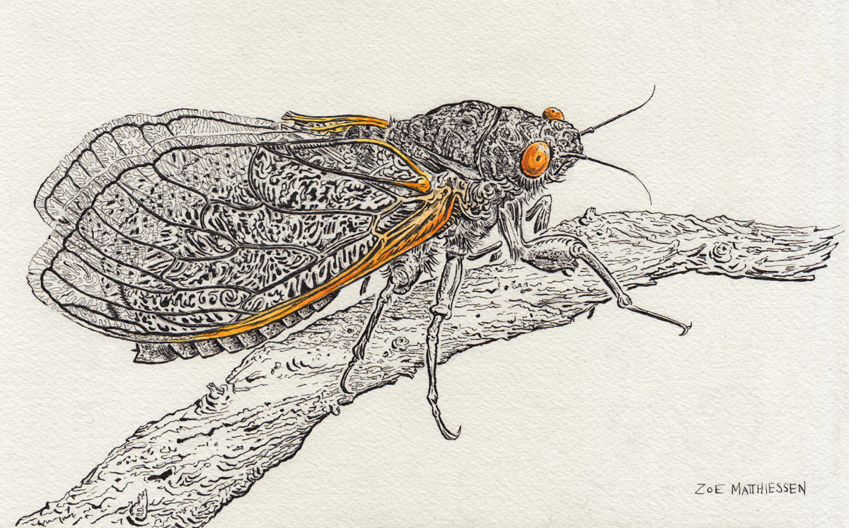 My friend, the cicada.