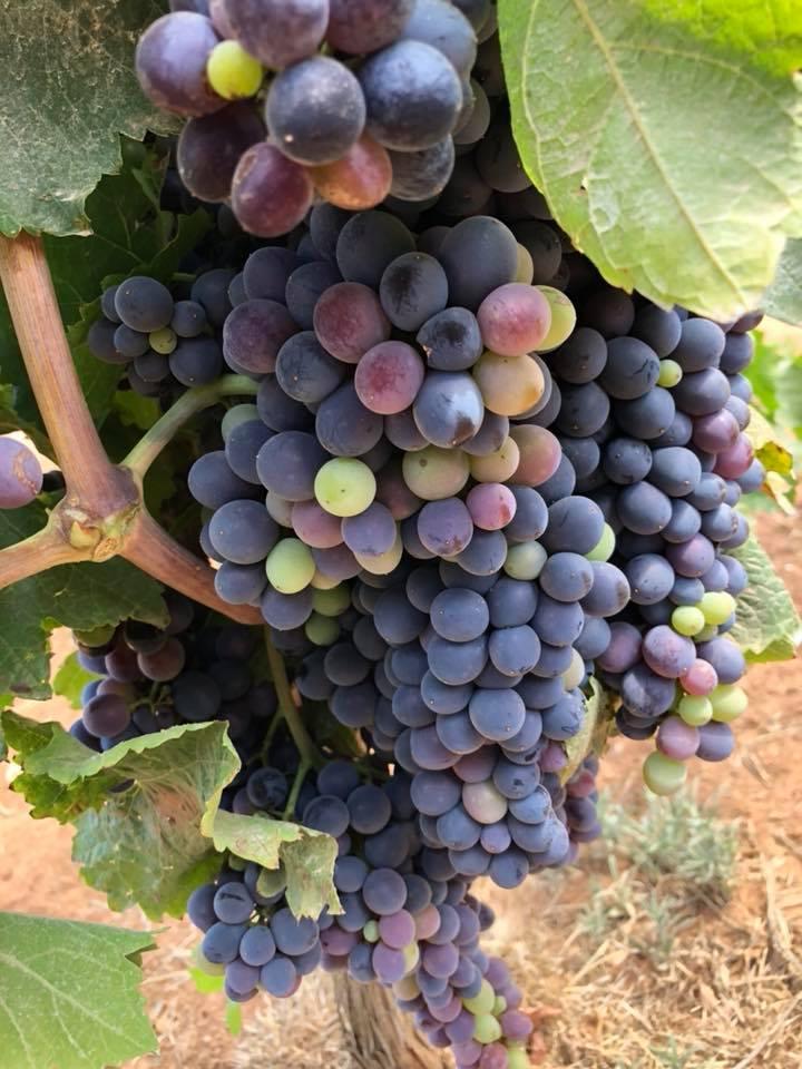 Grapes .jpg