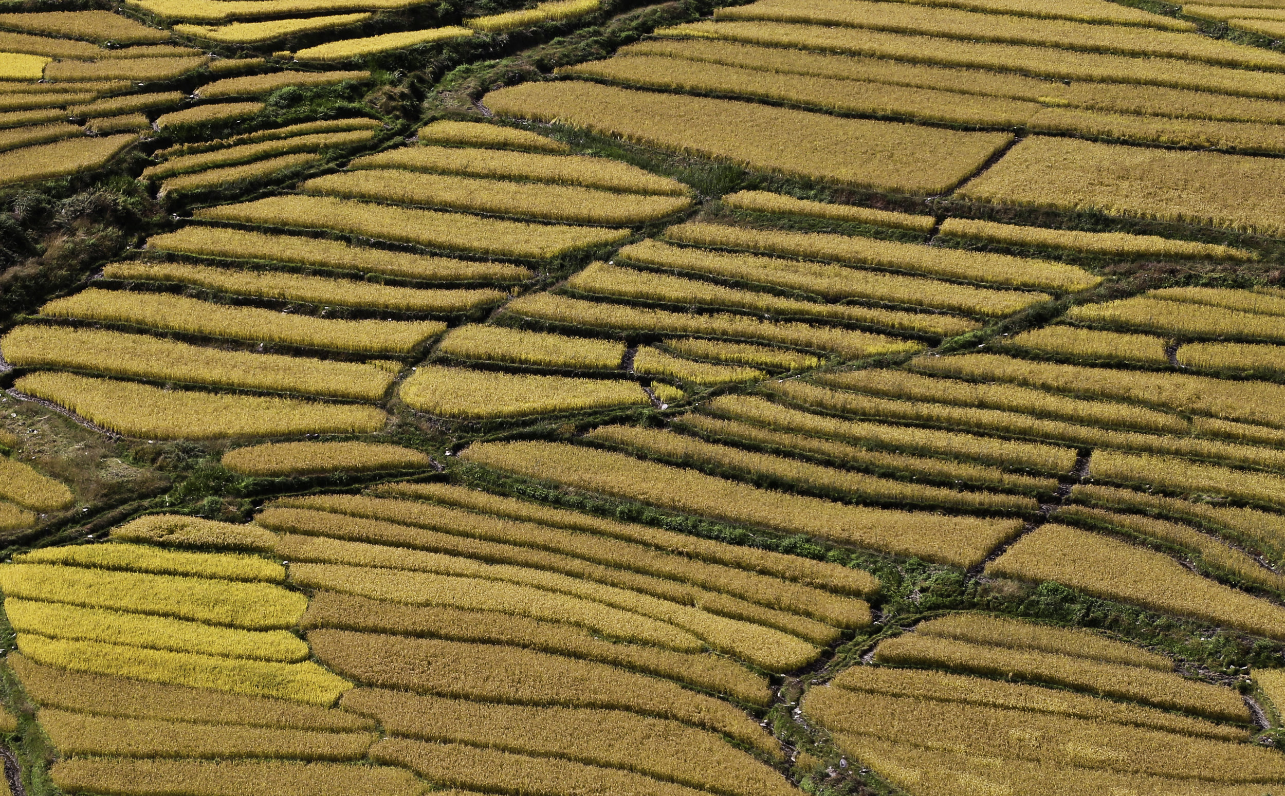 Autumn in Bhutan - Rice field