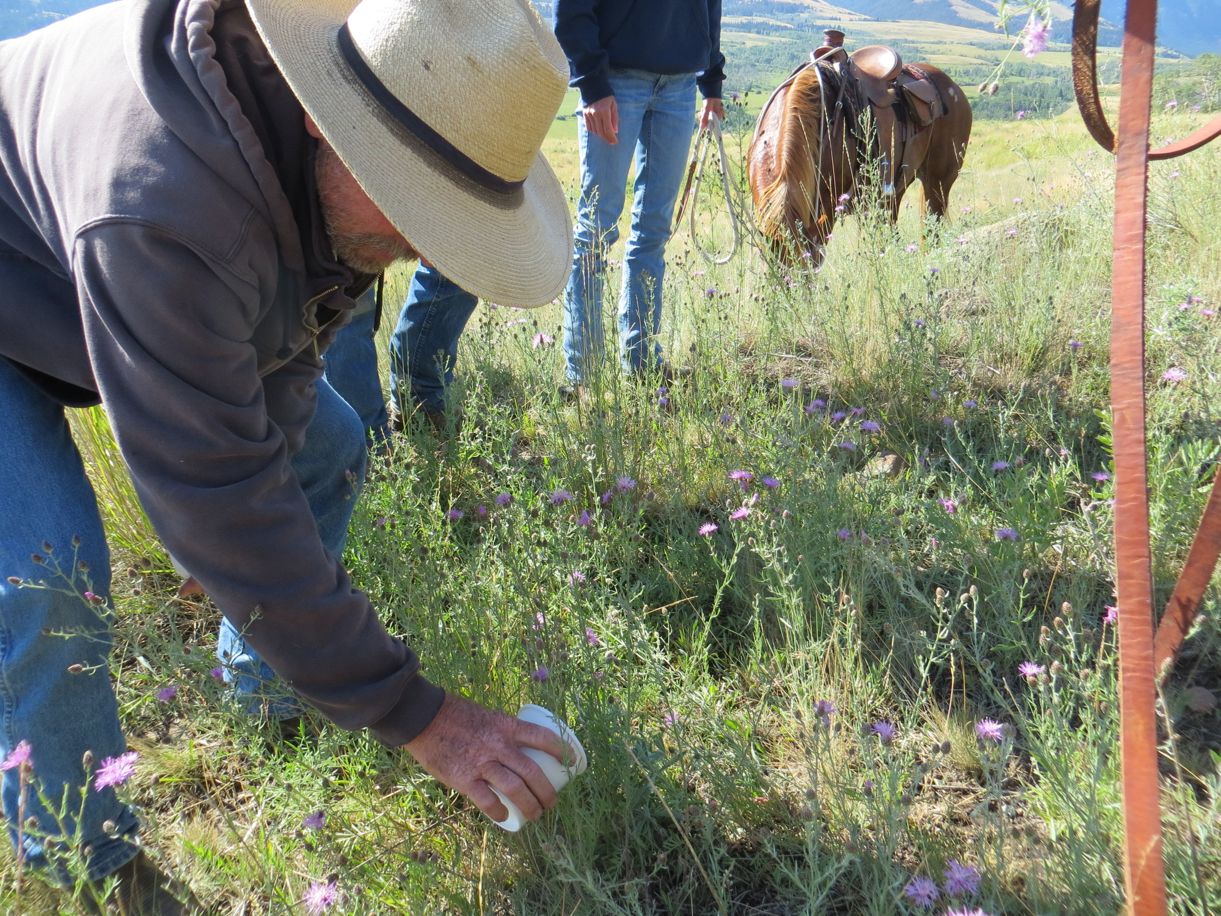 Weevils are released onto knapweed to combat this notorious noxious weed. Many of these bug species are considered biological agents in the combat against noxious weed and can be used to control certain species of plants.