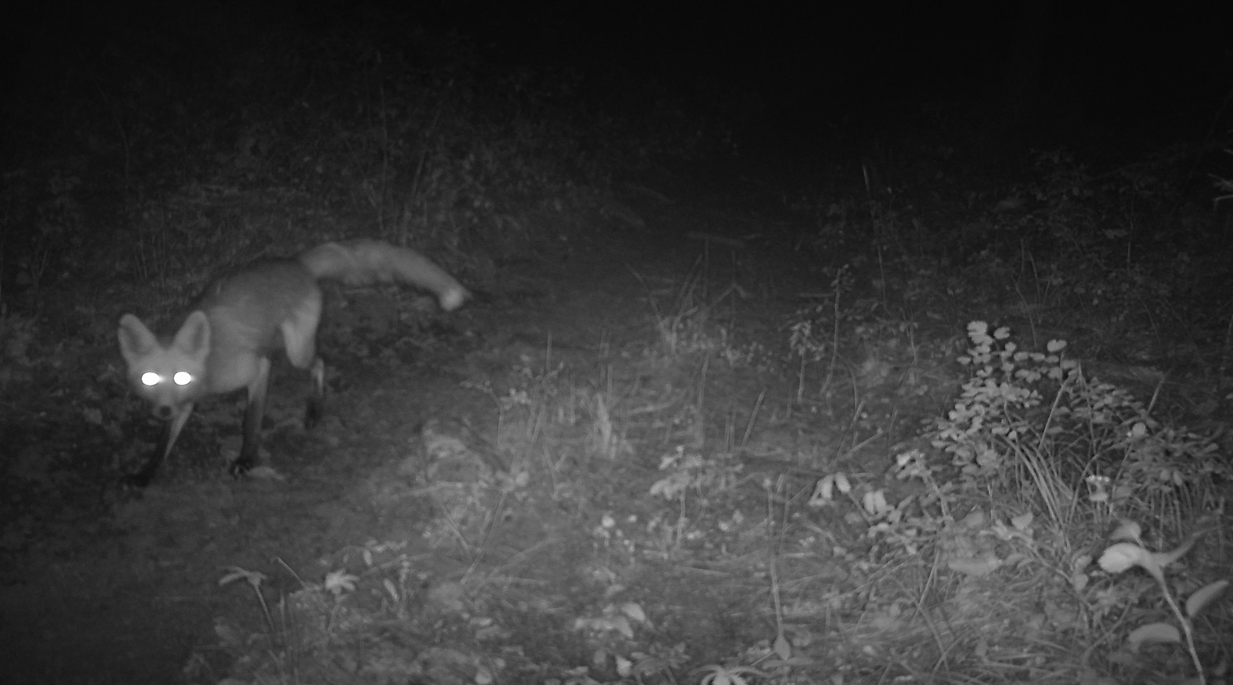 Fox that was startled by the trail camera