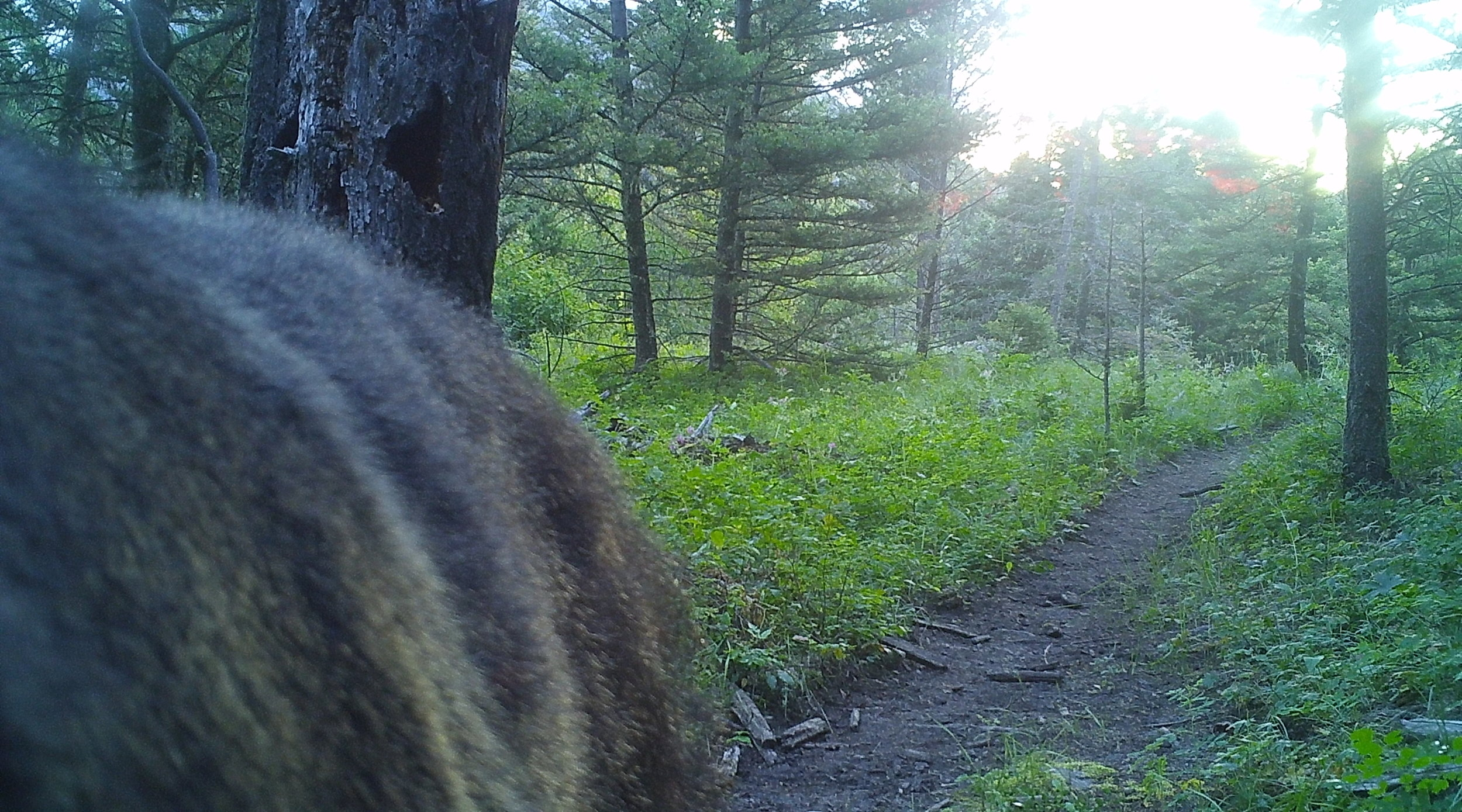 The trail camera's original position when it what discovered by the curious bear