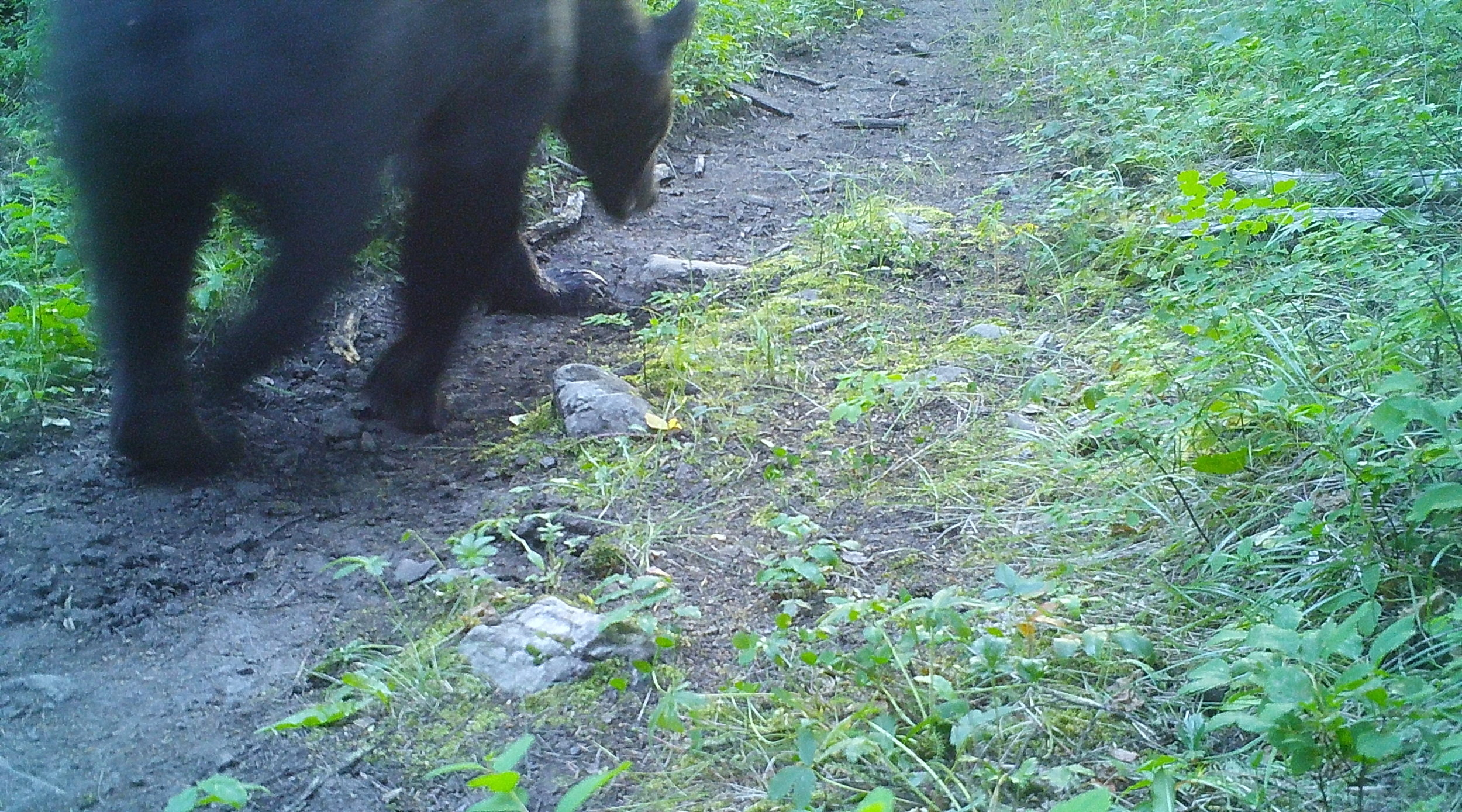 The bear had a good time playing with the trail camera and ultimately redirected it to the ground