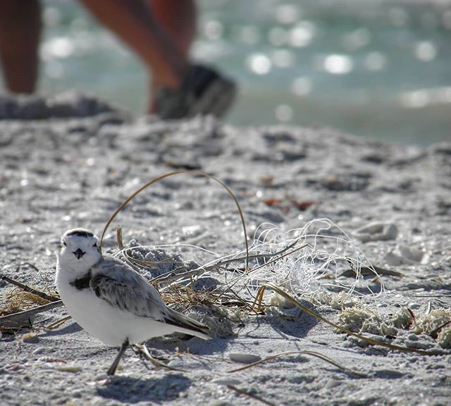 Monofilament in our environment poses a threat to all wildlife, including this threatened snowy plover. Luckily in this case , the shorebird biologist from @sccf_swfl was able to pick up this tangle before the plover could become entangled. Always remember to #mindyourline and pick up any loose monofilament you find when you are out walking on the beach!