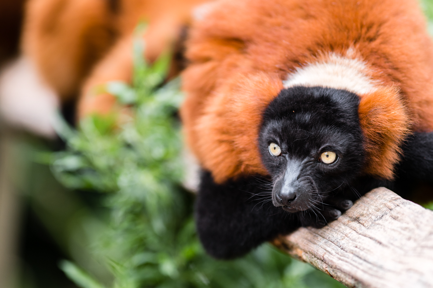 Red Ruffed Lemurs  - Amsterdam Zoo