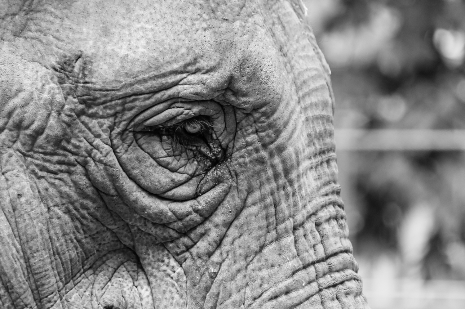 Asian Elephant  - Amsterdam Zoo