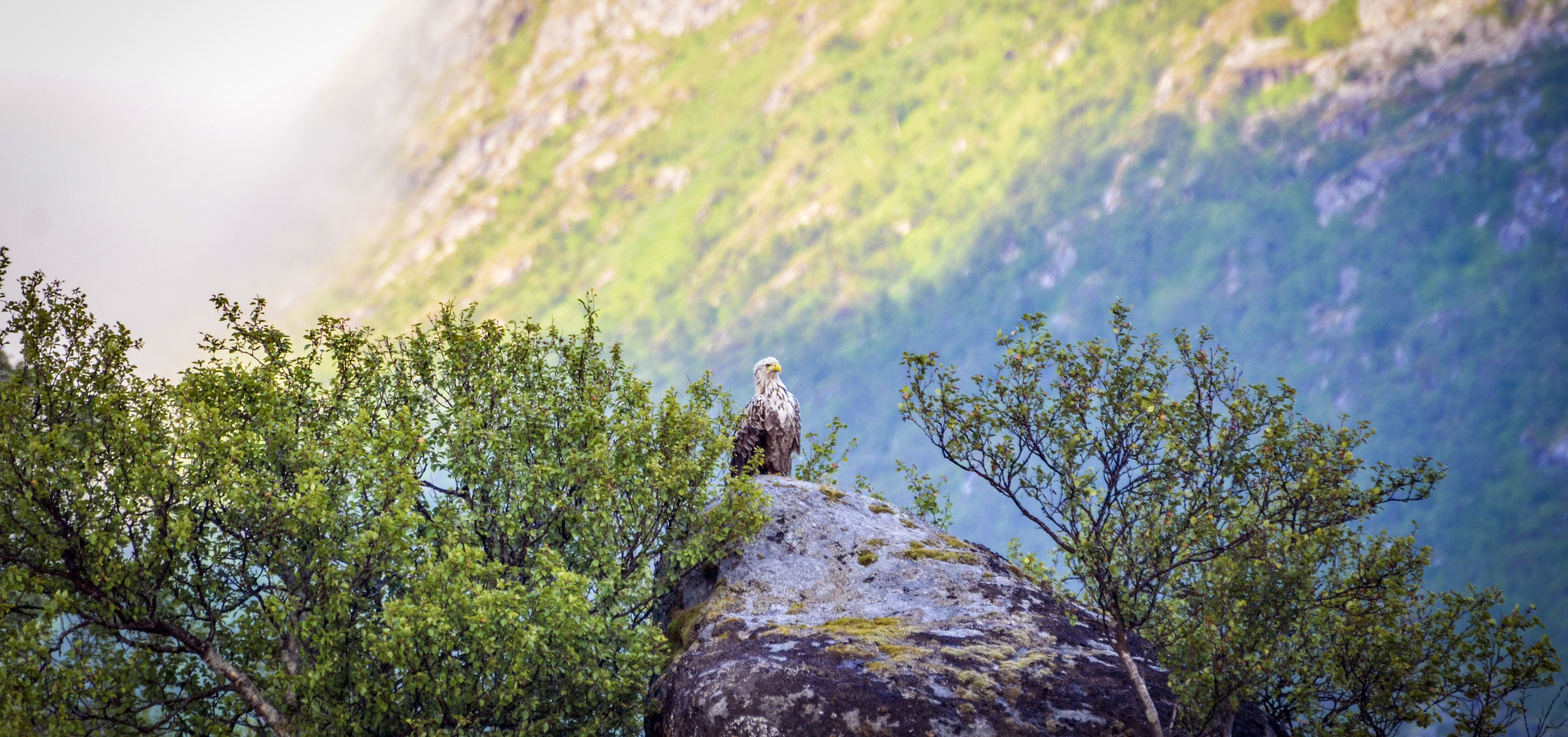 While-tailed eagle in midnight sun by Inga