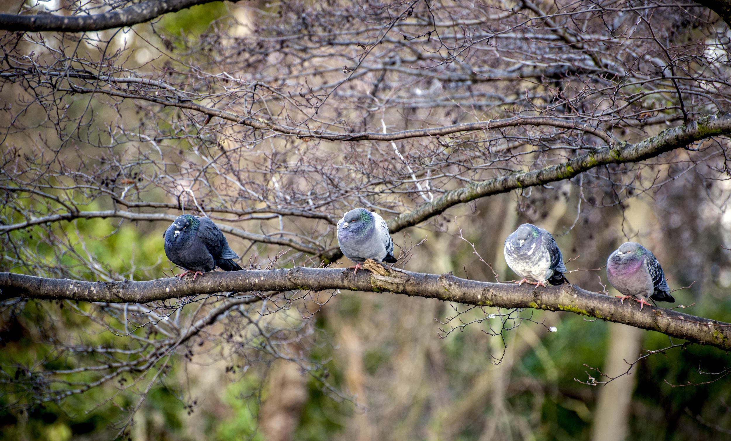 Pigeons in Regents Park, UK