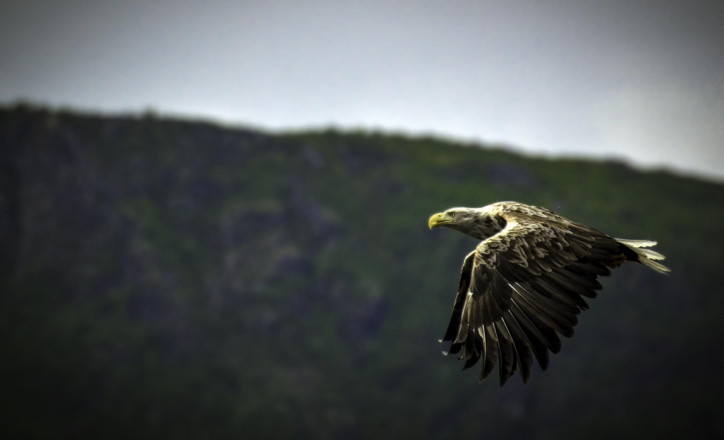White tailed eagle, Norway