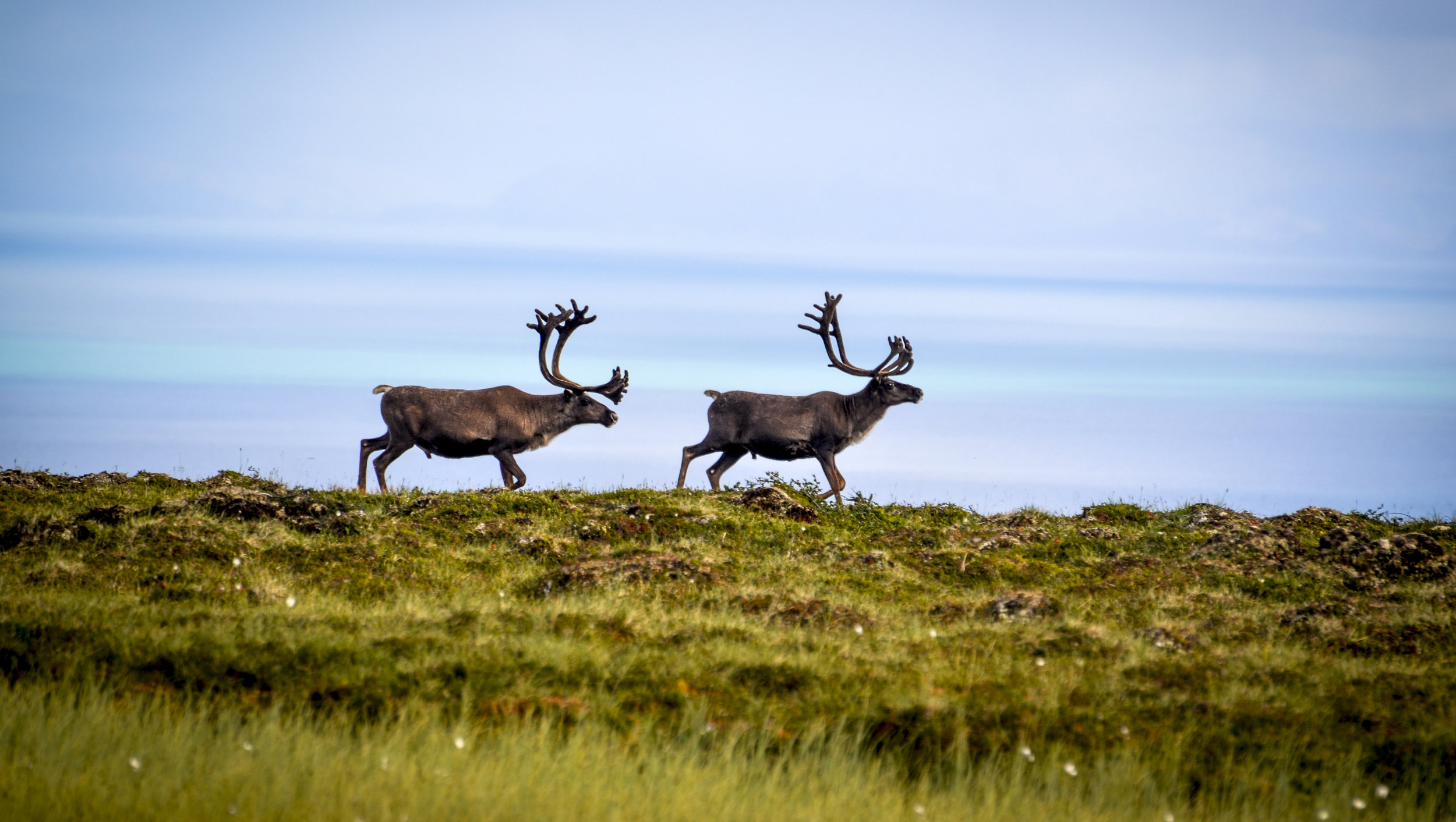 Reindeer outside of Vadsø