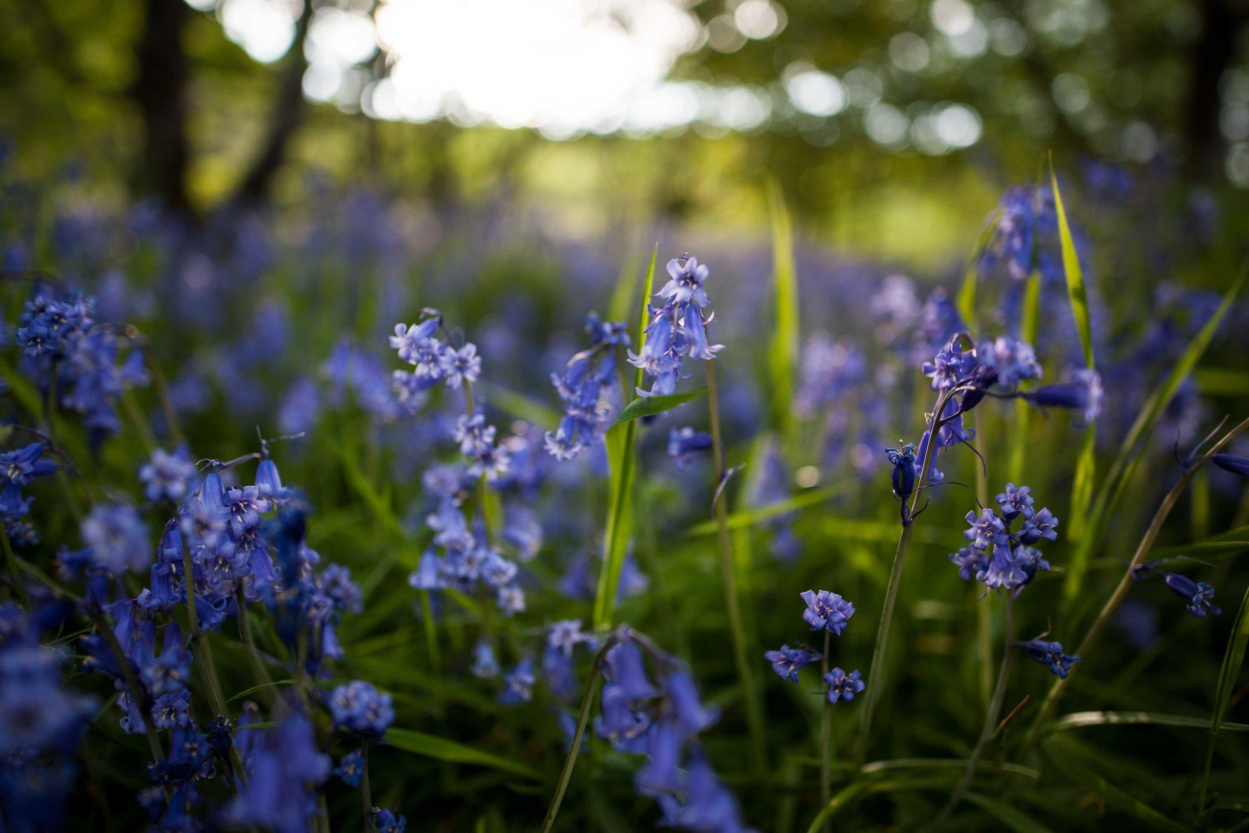 Bluebells, Isle of Skye - Scotland