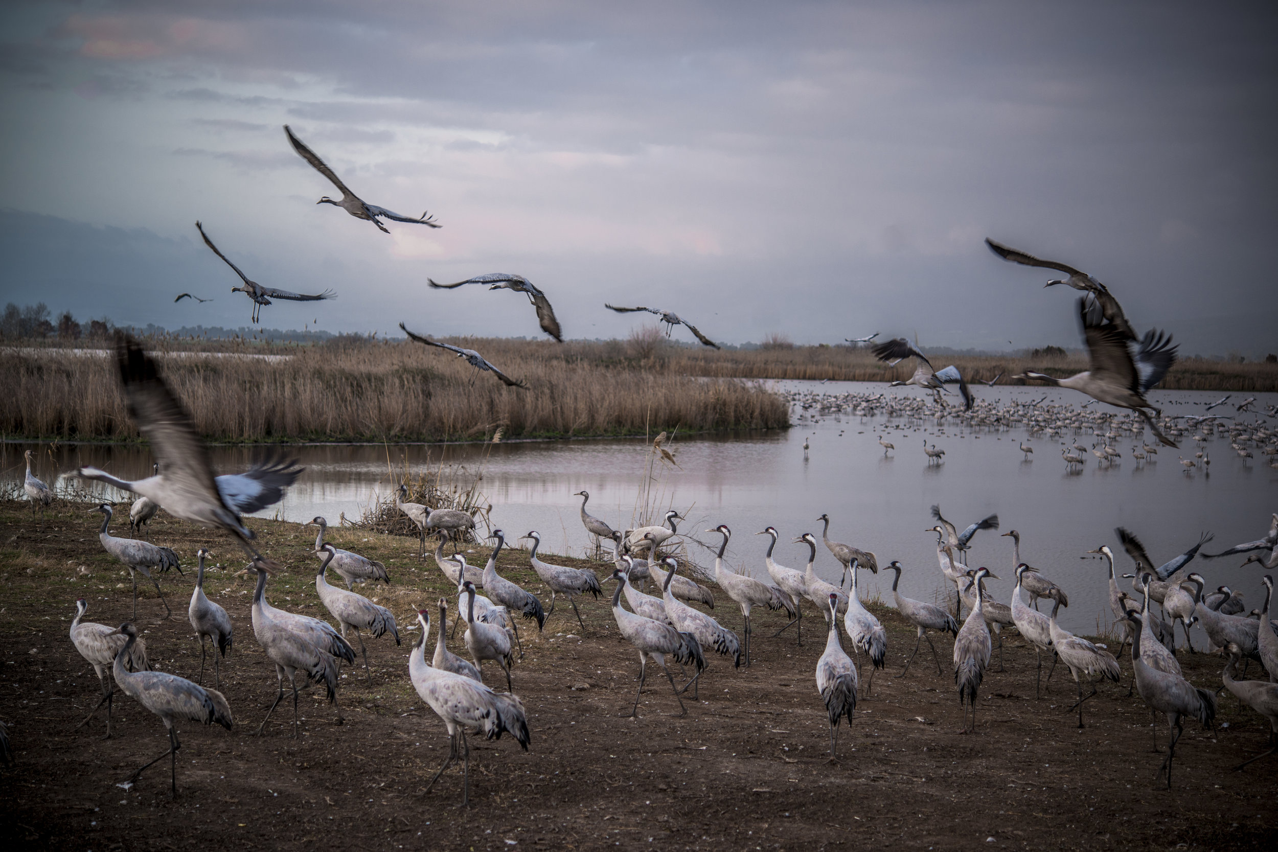 Crane migration, Golan Heights- Israel