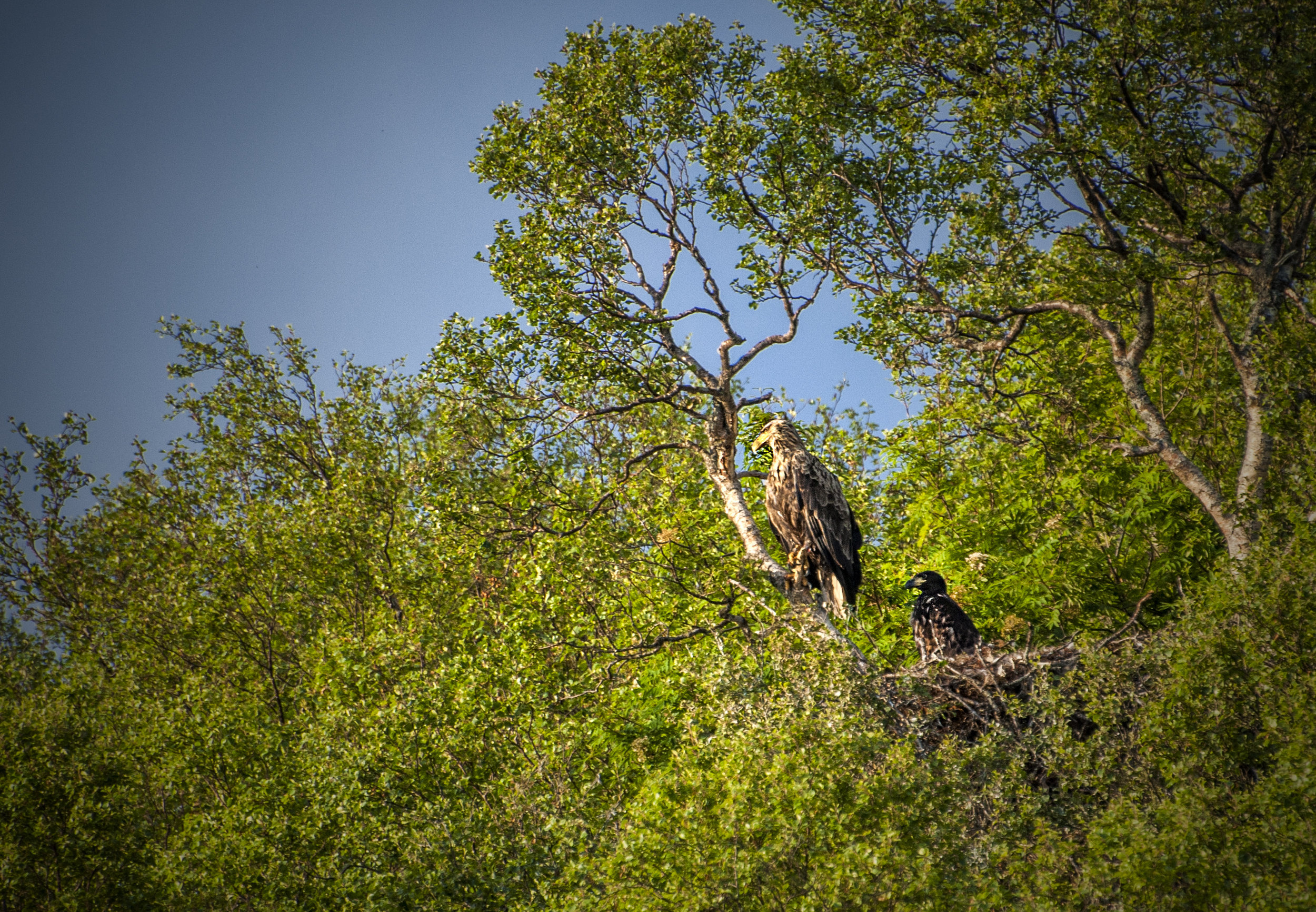 White tailed eagle with chick, Sigerfjord-Norway