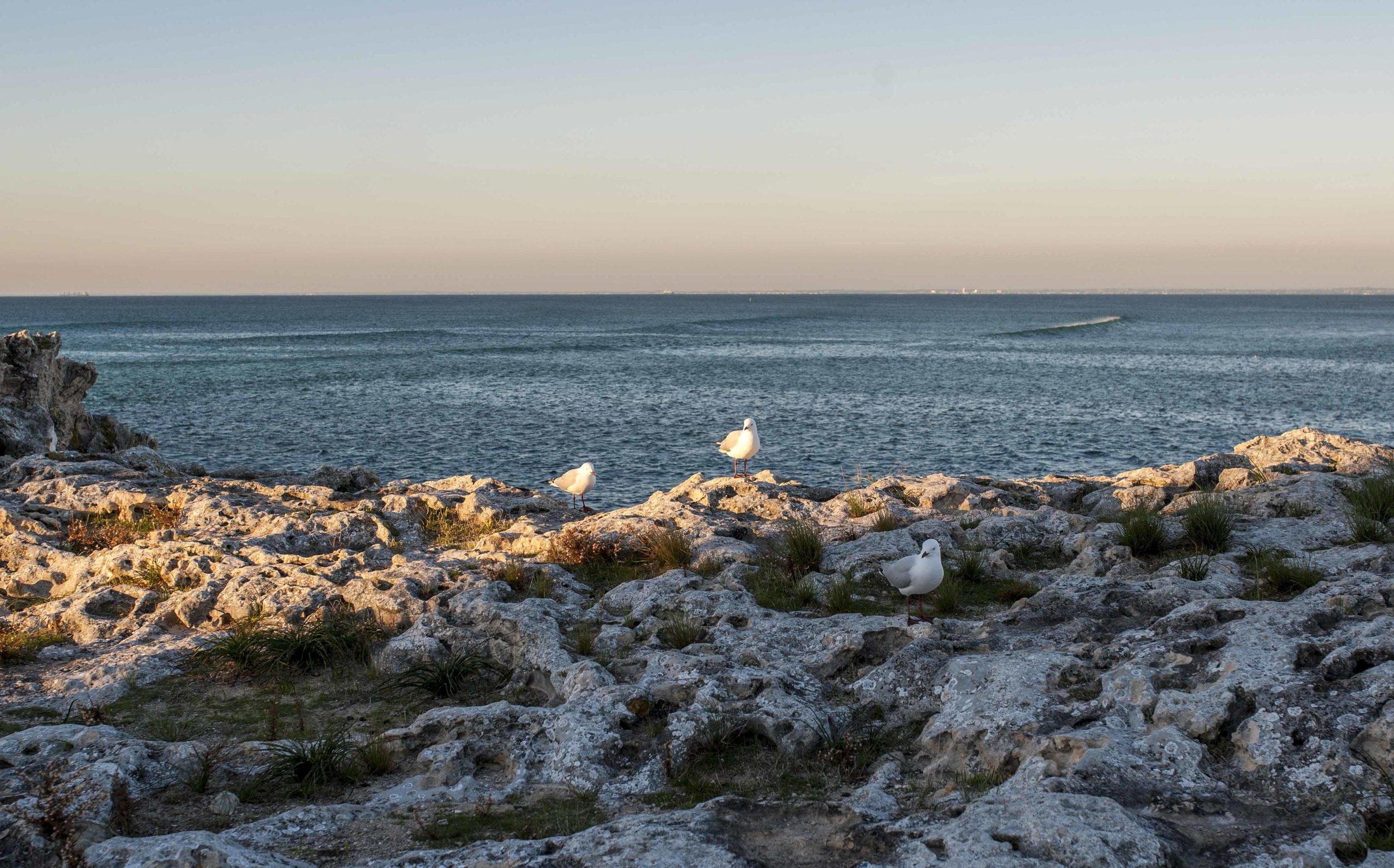 Silver gulls enjoying the Rottnest sunset