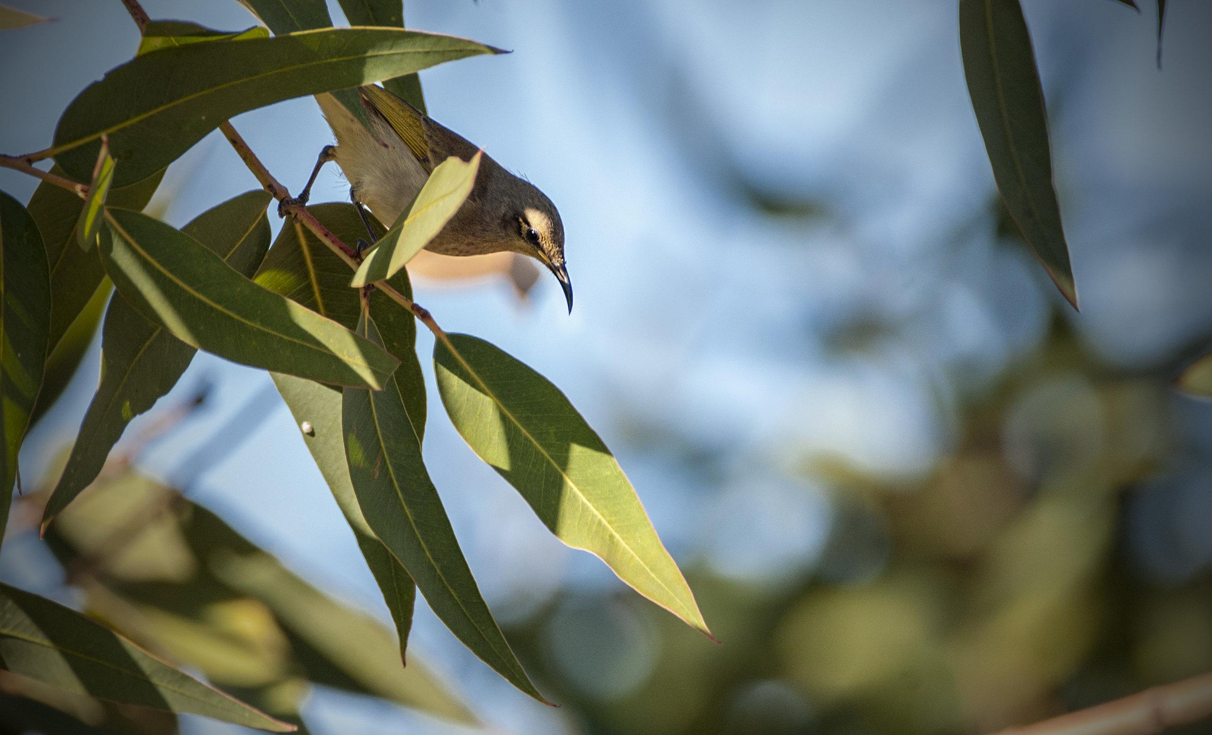 Brown honeyeater